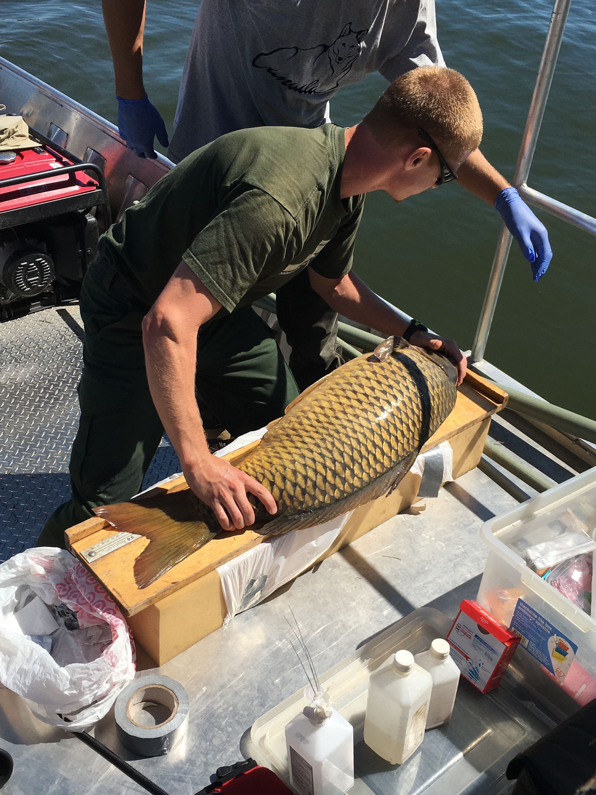 Measuring the 50lb Common Carp