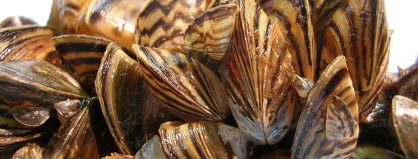 Zebra Mussels Picture by USFWS